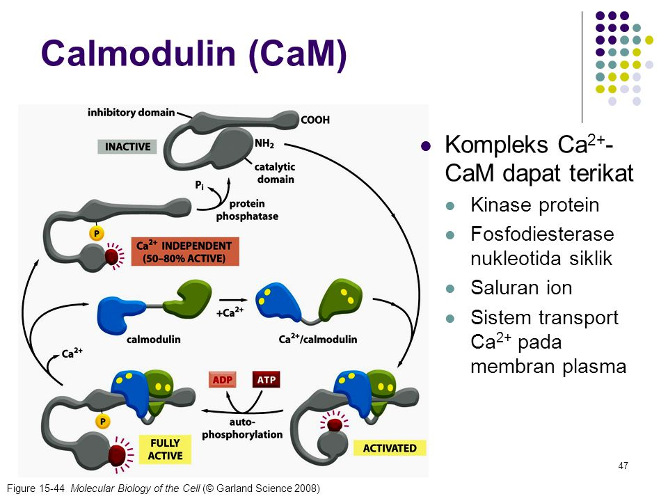 47 Figure 15-44 Molecular Biology of the Cell (© Garland Science 2008) Calmodulin (CaM) Kompleks Ca 2+ - CaM dapat terikat Kinase protein Fosfodiester