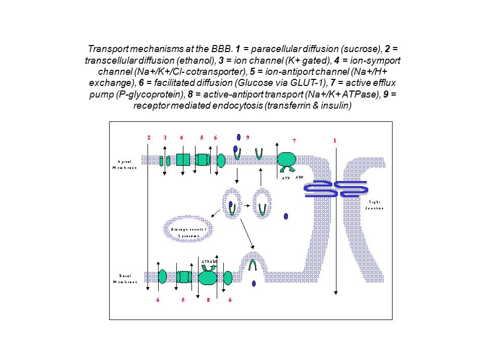 Transport mechanisms at the BBB. 1 = paracellular diffusion (sucrose), 2 = transcellular diffusion (ethanol), 3 = ion channel (K+ gated), 4 = ion-symp