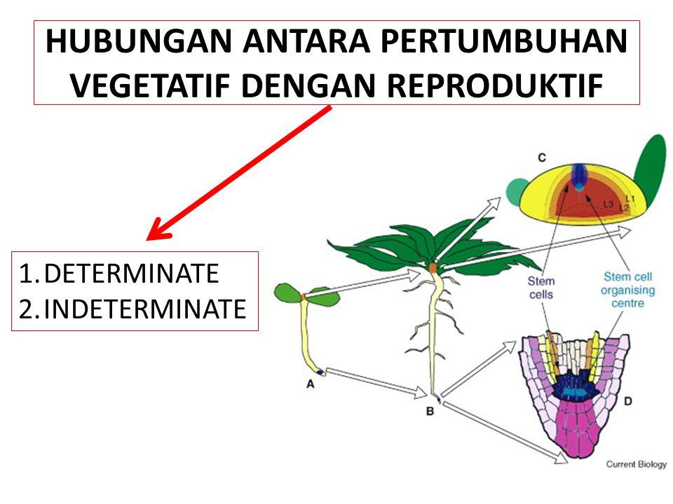 HUBUNGAN ANTARA PERTUMBUHAN VEGETATIF DENGAN REPRODUKTIF 1.DETERMINATE 2.INDETERMINATE
