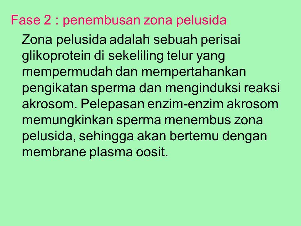 Fase 2 : penembusan zona pelusida Zona pelusida adalah sebuah perisai glikoprotein di sekeliling telur yang mempermudah dan mempertahankan pengikatan
