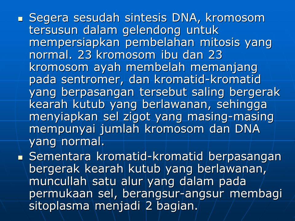 Segera sesudah sintesis DNA, kromosom tersusun dalam gelendong untuk mempersiapkan pembelahan mitosis yang normal. 23 kromosom ibu dan 23 kromosom aya