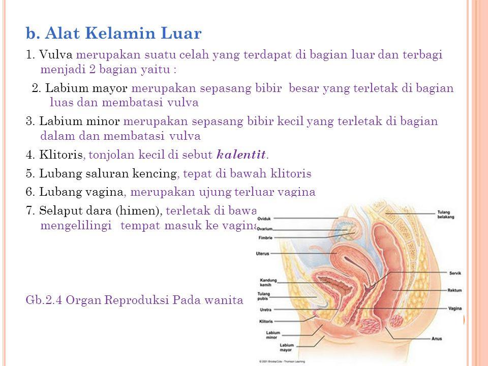 b. Alat Kelamin Luar 1. Vulva merupakan suatu celah yang terdapat di bagian luar dan terbagi menjadi 2 bagian yaitu : 2. Labium mayor merupakan sepasa