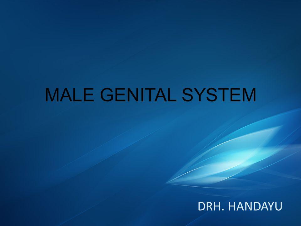 EPIDIDYMIS FUNGSI – Transportasi sperma(kontraksi epididymis) Waktu : 7-9 hari pada sapi dewasa, 13-15 hari pada domba, 9-12 hari pada babi dan 8-11 hari pada kuda – Tempat pemadatan sperma(caput epididymis) Penyerapan cairan o/ epitel epididimis – Tempat pemasakan sperma (sekresi epitel) Hilangnya butir sitoplasma pda sperma – Tempat penimbunan sperma (cauda epididimis)