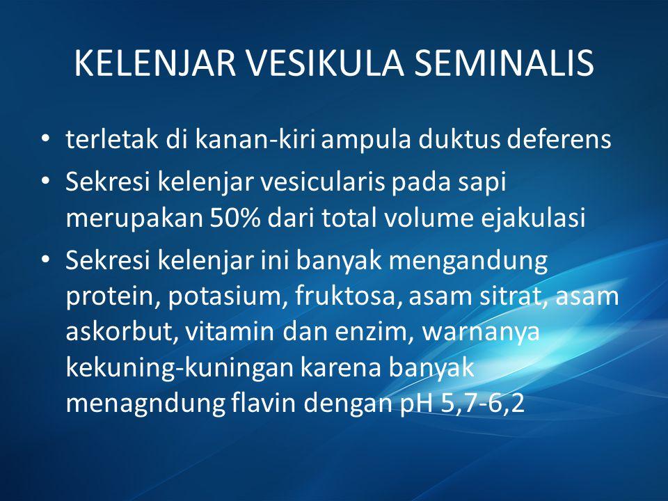 KELENJAR VESIKULA SEMINALIS terletak di kanan-kiri ampula duktus deferens Sekresi kelenjar vesicularis pada sapi merupakan 50% dari total volume ejaku