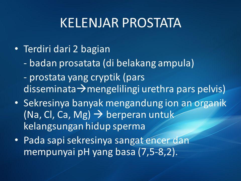KELENJAR PROSTATA Terdiri dari 2 bagian - badan prosatata (di belakang ampula) - prostata yang cryptik (pars disseminata  mengelilingi urethra pars p