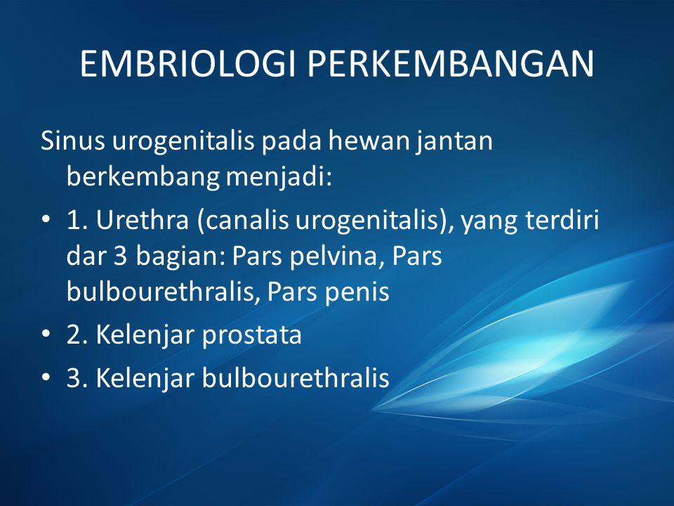 EMBRIOLOGI PERKEMBANGAN Sinus urogenitalis pada hewan jantan berkembang menjadi: 1. Urethra (canalis urogenitalis), yang terdiri dar 3 bagian: Pars pe
