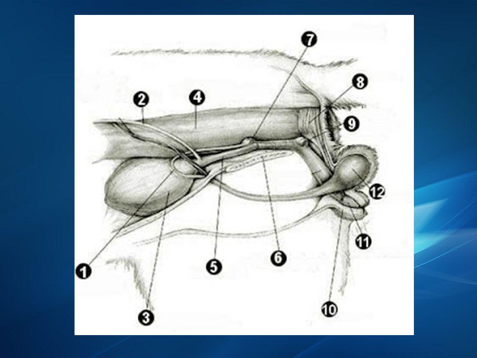 KELENJAR BULBOURETHRALIS  Sepasang, terdapat di sebelah kanan dan kiri urethra bulbourethralis