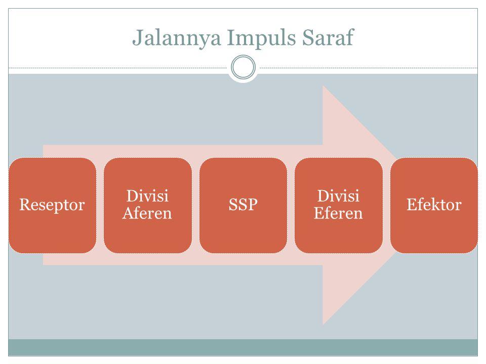 Jalannya Impuls Saraf Reseptor Divisi Aferen SSP Divisi Eferen Efektor