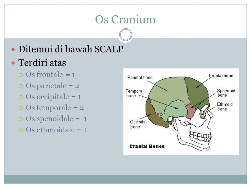 Os Cranium Ditemui di bawah SCALP Terdiri atas  Os frontale = 1  Os parietale = 2  Os occipitale = 1  Os temporale = 2  Os spenoidale = 1  Os ethmoidale = 1