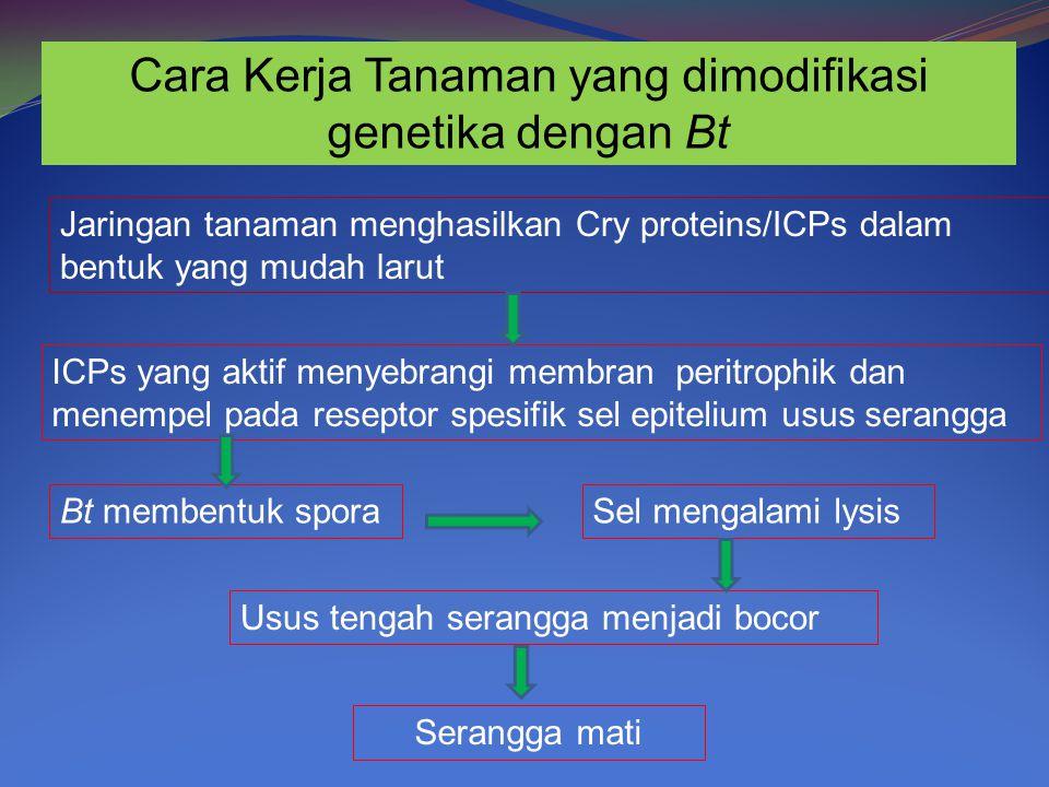 Cara Kerja Tanaman yang dimodifikasi genetika dengan Bt Jaringan tanaman menghasilkan Cry proteins/ICPs dalam bentuk yang mudah larut ICPs yang aktif menyebrangi membran peritrophik dan menempel pada reseptor spesifik sel epitelium usus serangga Bt membentuk sporaSel mengalami lysis Usus tengah serangga menjadi bocor Serangga mati