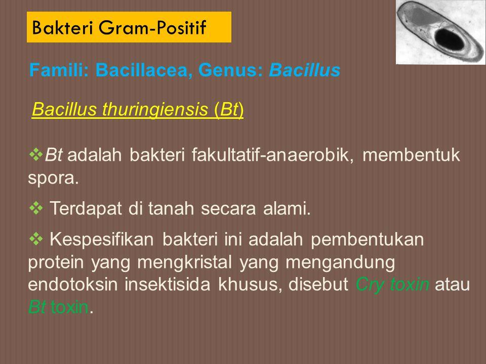 Bakteri Gram-Positif Bacillus thuringiensis (Bt)  Bt adalah bakteri fakultatif-anaerobik, membentuk spora.  Terdapat di tanah secara alami.  Kespes