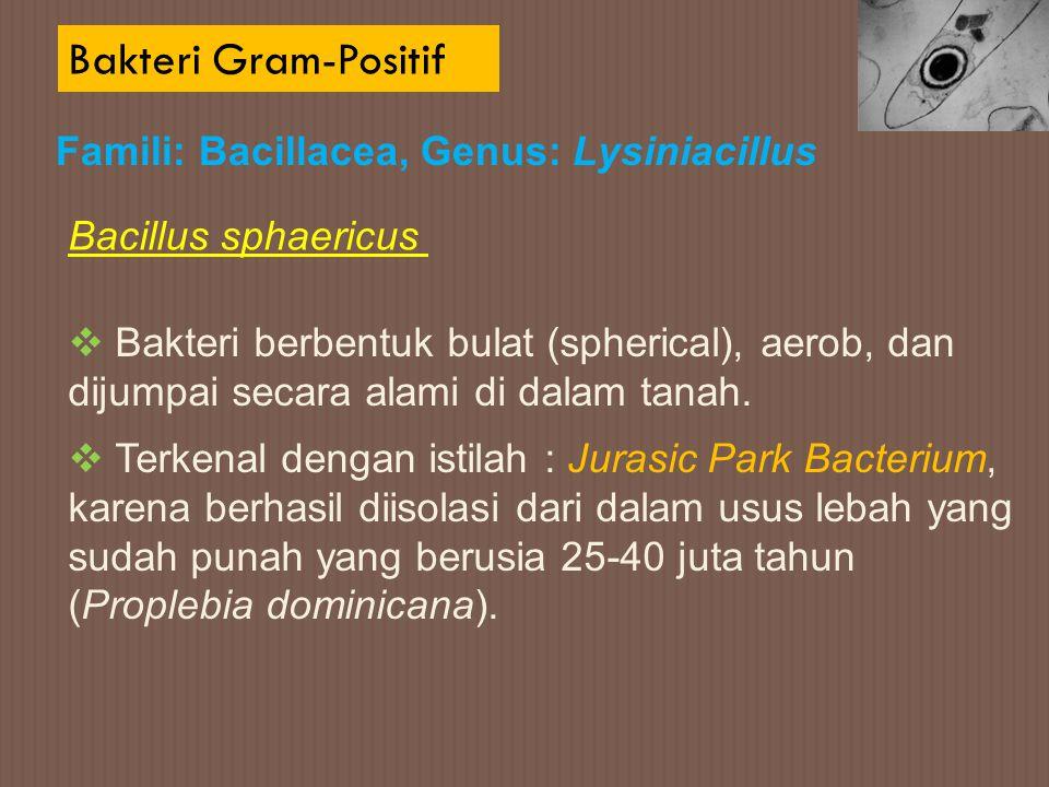 Bakteri Gram-Positif Bacillus sphaericus Famili: Bacillacea, Genus: Lysiniacillus  Bakteri berbentuk bulat (spherical), aerob, dan dijumpai secara al