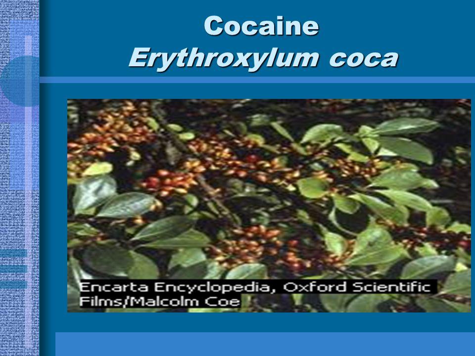 Cocaine Erythroxylum coca