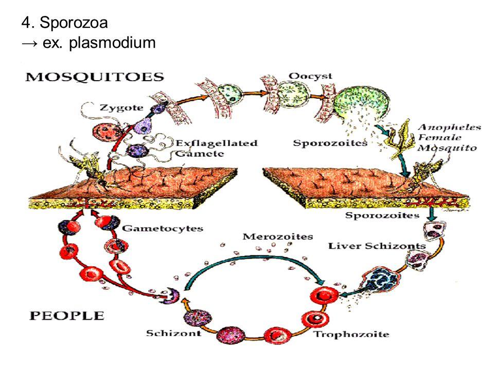 4. Sporozoa → ex. plasmodium