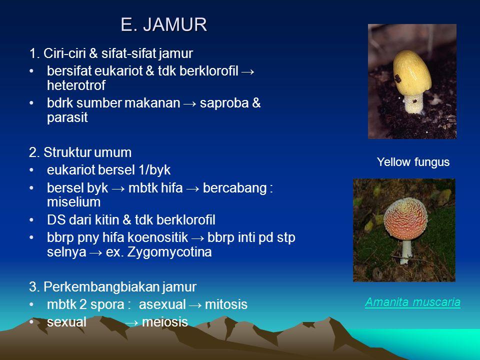 E. JAMUR 1. Ciri-ciri & sifat-sifat jamur bersifat eukariot & tdk berklorofil → heterotrof bdrk sumber makanan → saproba & parasit 2. Struktur umum eu