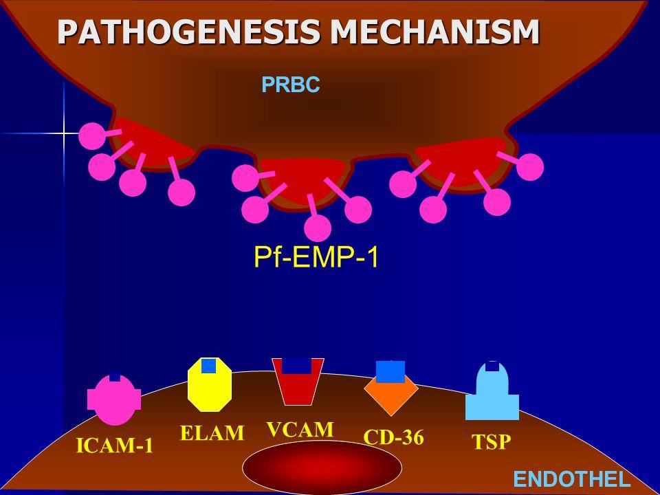 PATHOGENESIS MECHANISM ENDOTHEL ICAM-1 ELAM VCAM TSP CD-36 Pf-EMP-1 PRBC