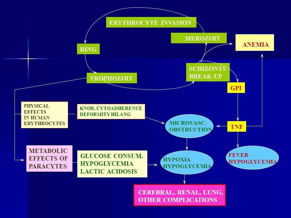 ERYTHROCYTE INVASION RING TROPHOZOIT SCHIZONTS BREAK UP MEROZOIT ANEMIA GPI TNF FEVER HYPOGLYCEMIA MICROVASC. OBSTRUCTION HYPOXIA HYPOGLYCEMIA CEREBRA