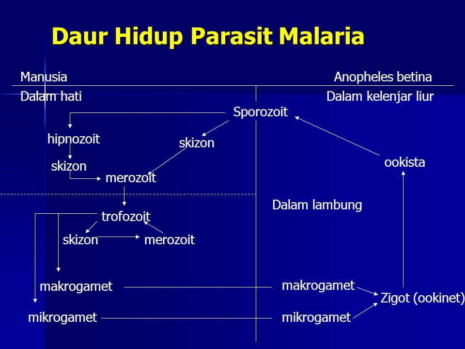 Daur Hidup Parasit Malaria ManusiaAnopheles betina Dalam hatiDalam kelenjar liur Sporozoit ookista Zigot (ookinet) hipnozoit skizon merozoit trofozoit