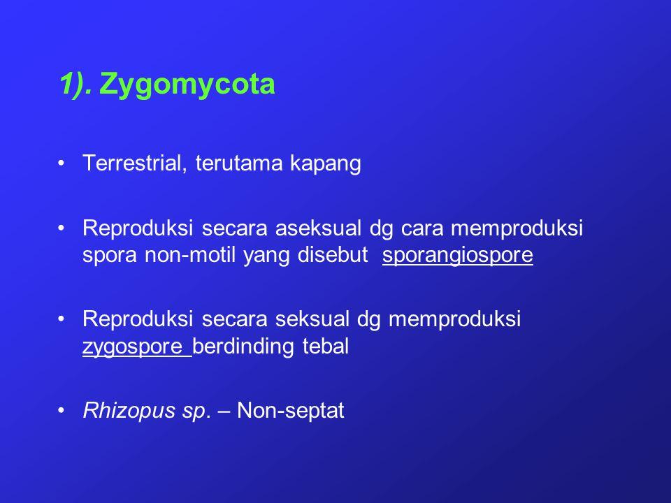 1). Zygomycota Terrestrial, terutama kapang Reproduksi secara aseksual dg cara memproduksi spora non-motil yang disebut sporangiospore Reproduksi seca