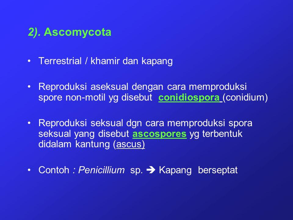 2). Ascomycota Terrestrial / khamir dan kapang Reproduksi aseksual dengan cara memproduksi spore non-motil yg disebut conidiospora (conidium) Reproduk
