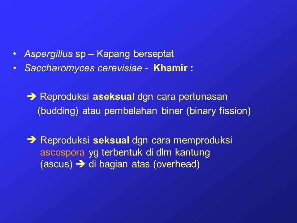 Aspergillus sp – Kapang berseptat Saccharomyces cerevisiae - Khamir :  Reproduksi aseksual dgn cara pertunasan (budding) atau pembelahan biner (binar