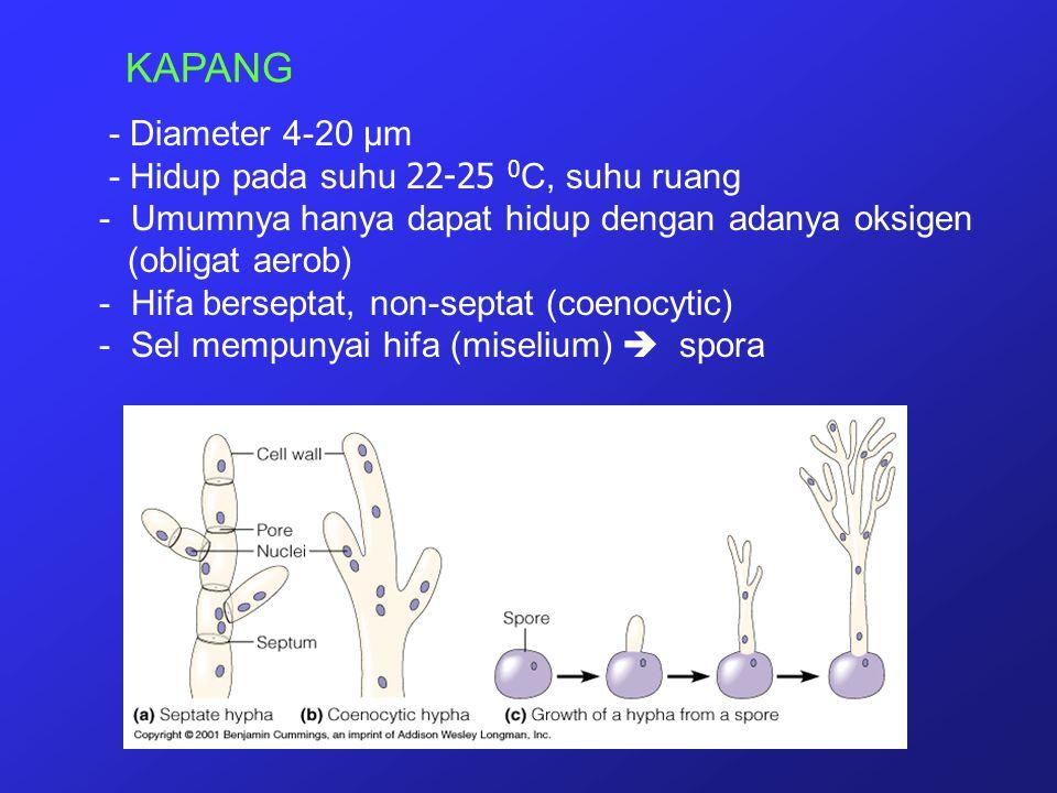 KAPANG - Diameter 4-20 µm - Hidup pada suhu 22-25 0 C, suhu ruang - Umumnya hanya dapat hidup dengan adanya oksigen (obligat aerob) - Hifa berseptat,