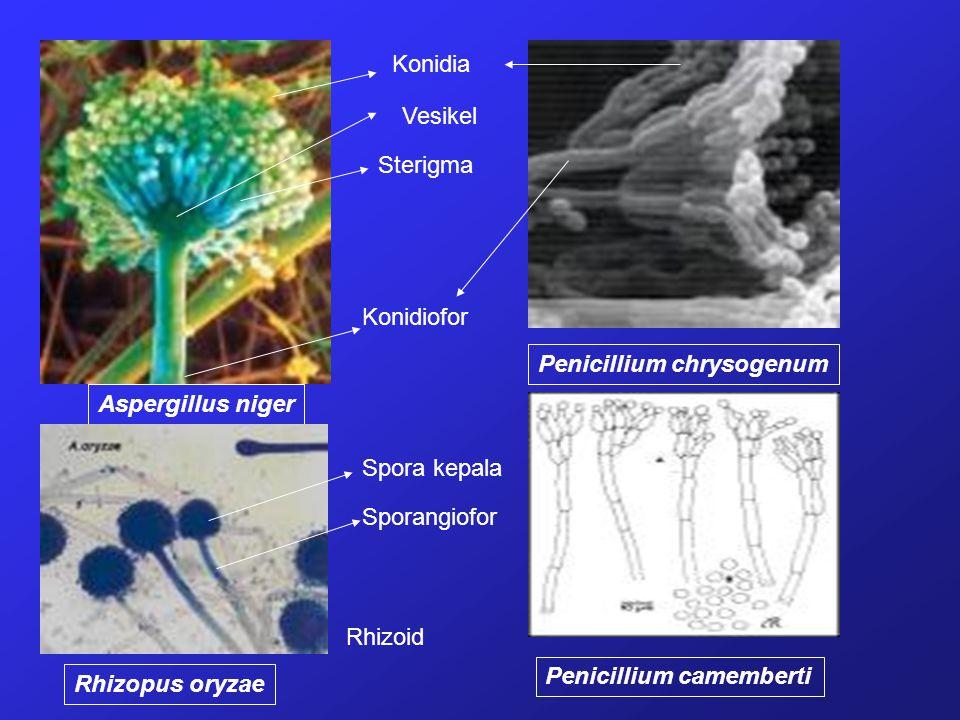 Aspergillus niger Penicillium chrysogenum Penicillium camemberti Rhizopus oryzae Konidia Vesikel Sterigma Konidiofor Spora kepala Sporangiofor Rhizoid