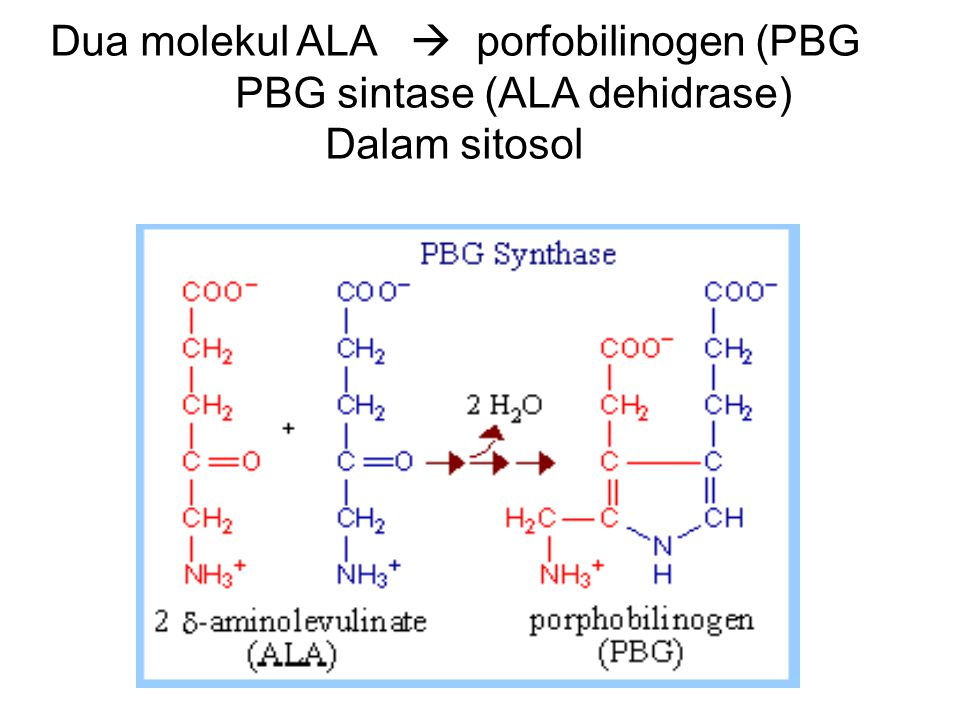 4 PBG  tetrapirrol linier  uroporfirinogen III 1 = Enzim PBG deaminase 2 = Uroporfirinogen Kosintase 12 Uroporfirinogen III  Koproporfirinogen III E E = Uroporfirinogen dekarboksilase (dalam sitoplasma)