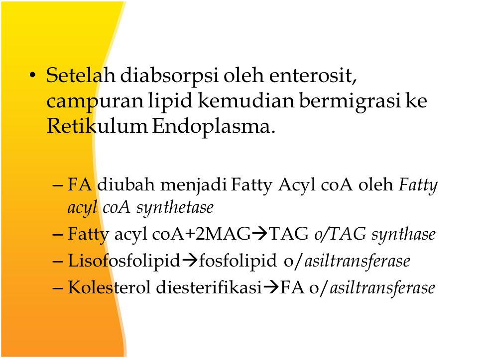 Setelah diabsorpsi oleh enterosit, campuran lipid kemudian bermigrasi ke Retikulum Endoplasma.
