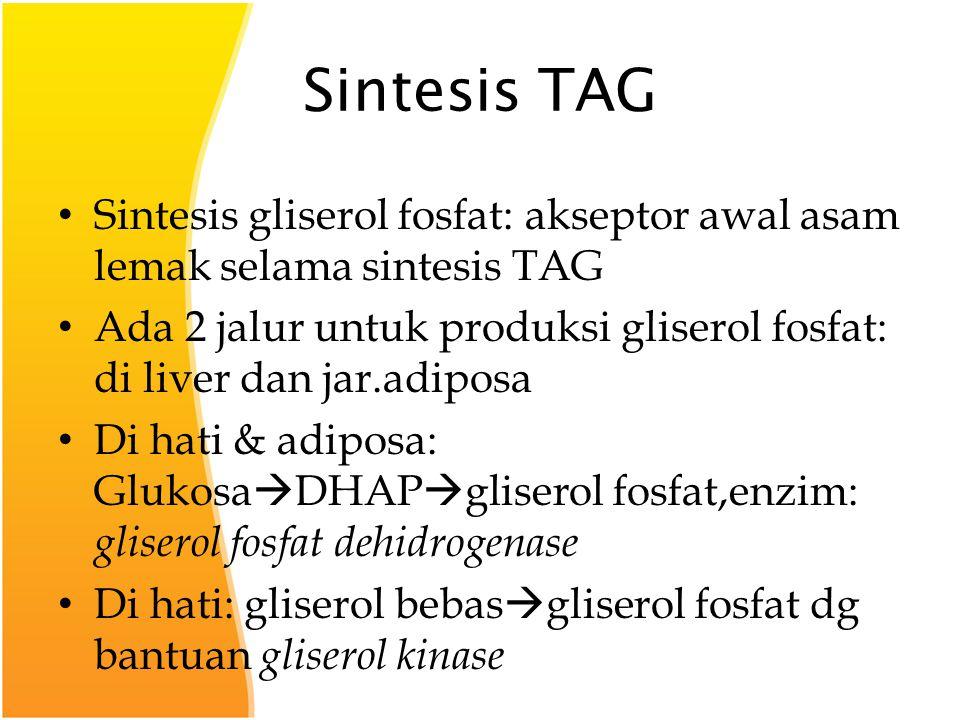Sintesis TAG Sintesis gliserol fosfat: akseptor awal asam lemak selama sintesis TAG Ada 2 jalur untuk produksi gliserol fosfat: di liver dan jar.adiposa Di hati & adiposa: Glukosa  DHAP  gliserol fosfat,enzim: gliserol fosfat dehidrogenase Di hati: gliserol bebas  gliserol fosfat dg bantuan gliserol kinase