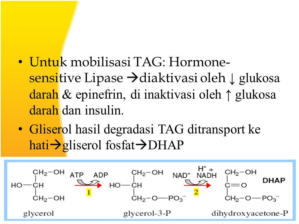 Untuk mobilisasi TAG: Hormone- sensitive Lipase  diaktivasi oleh ↓ glukosa darah & epinefrin, di inaktivasi oleh ↑ glukosa darah dan insulin.