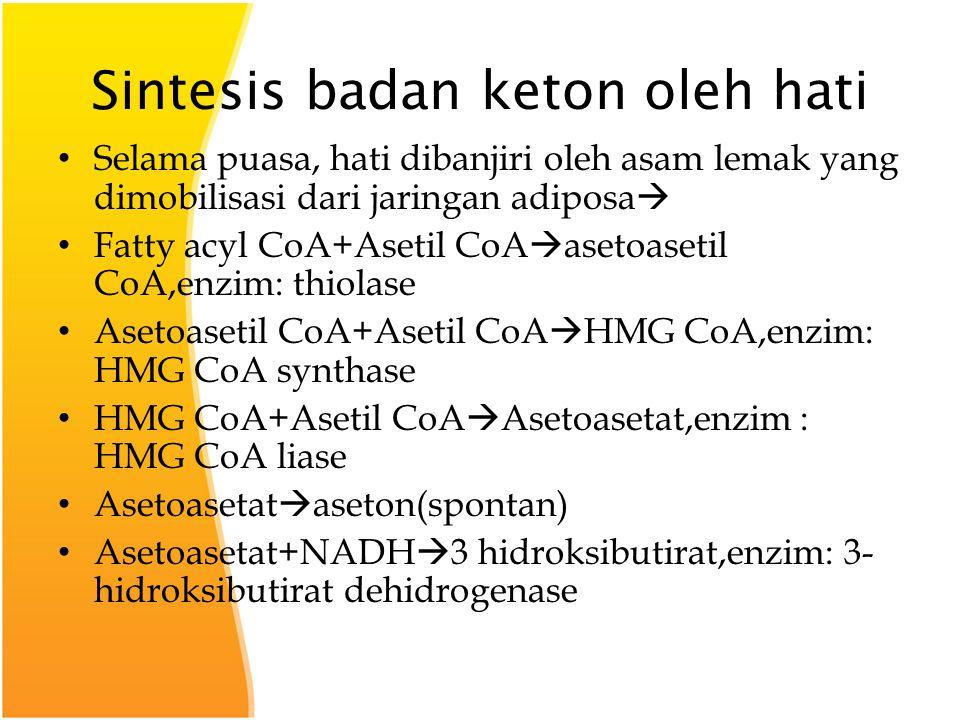 Sintesis badan keton oleh hati Selama puasa, hati dibanjiri oleh asam lemak yang dimobilisasi dari jaringan adiposa  Fatty acyl CoA+Asetil CoA  asetoasetil CoA,enzim: thiolase Asetoasetil CoA+Asetil CoA  HMG CoA,enzim: HMG CoA synthase HMG CoA+Asetil CoA  Asetoasetat,enzim : HMG CoA liase Asetoasetat  aseton(spontan) Asetoasetat+NADH  3 hidroksibutirat,enzim: 3- hidroksibutirat dehidrogenase