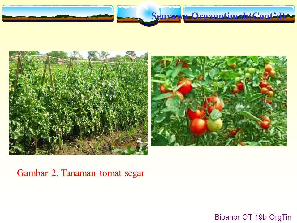 Senyawa Organotimah(Cont'd) Bioanor OT 19b OrgTin Gambar 2. Tanaman tomat segar