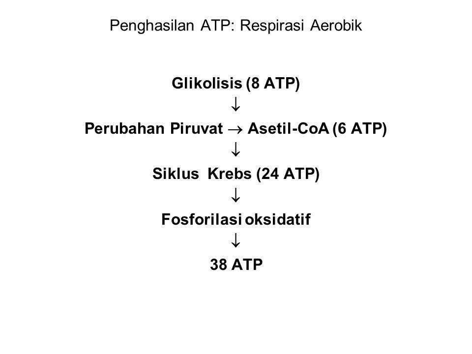 Penghasilan ATP: Respirasi Aerobik Glikolisis (8 ATP)  Perubahan Piruvat  Asetil-CoA (6 ATP)  Siklus Krebs (24 ATP)  Fosforilasi oksidatif  38 AT