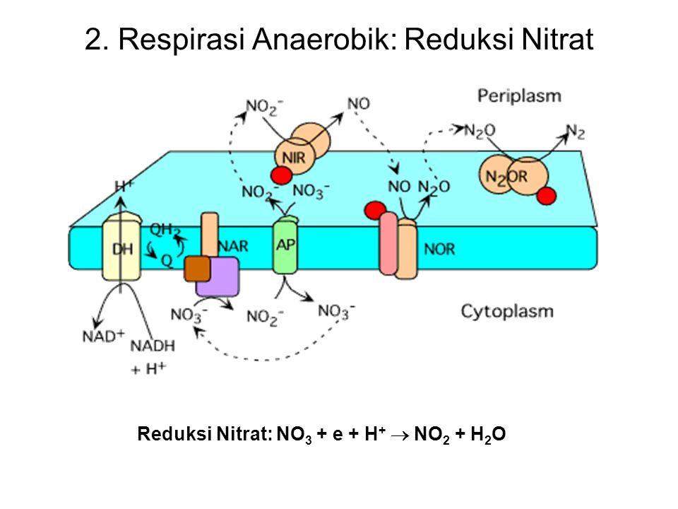 2. Respirasi Anaerobik: Reduksi Nitrat Reduksi Nitrat: NO 3 + e + H +  NO 2 + H 2 O