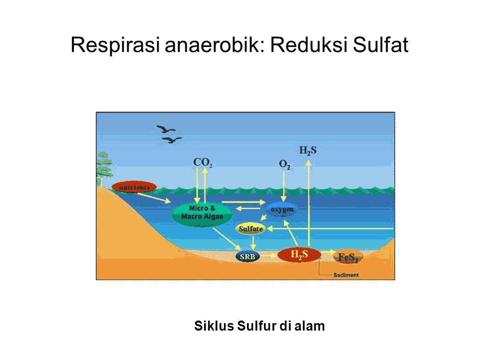Respirasi anaerobik: Reduksi Sulfat Siklus Sulfur di alam