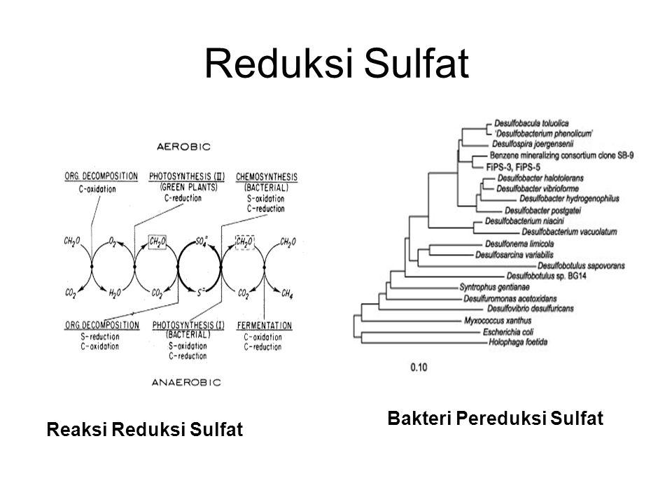 Reduksi Sulfat Bakteri Pereduksi Sulfat Reaksi Reduksi Sulfat