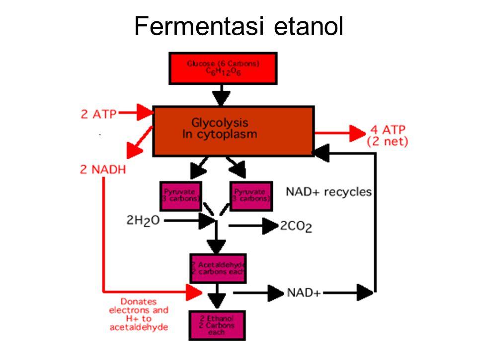 Fermentasi etanol