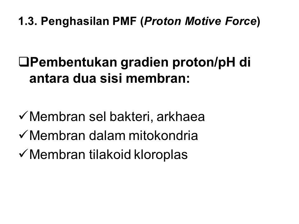 1.3. Penghasilan PMF (Proton Motive Force)  Pembentukan gradien proton/pH di antara dua sisi membran: Membran sel bakteri, arkhaea Membran dalam mito