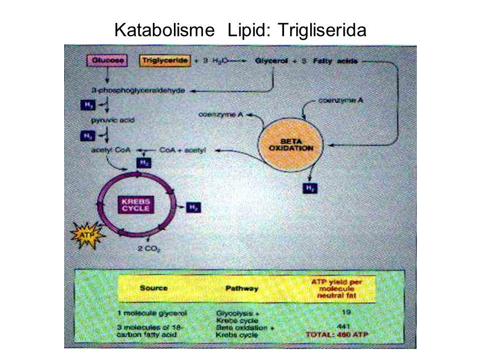 Katabolisme Lipid: Trigliserida