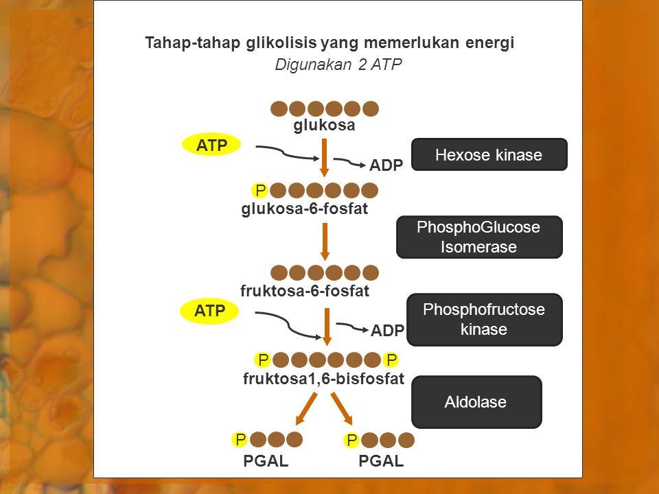 Digunakan 2 ATP Tahap-tahap glikolisis yang memerlukan energi glukosa PGAL P P ADP P ATP glukosa-6-fosfat fruktosa-6-fosfat ATP fruktosa1,6-bisfosfat