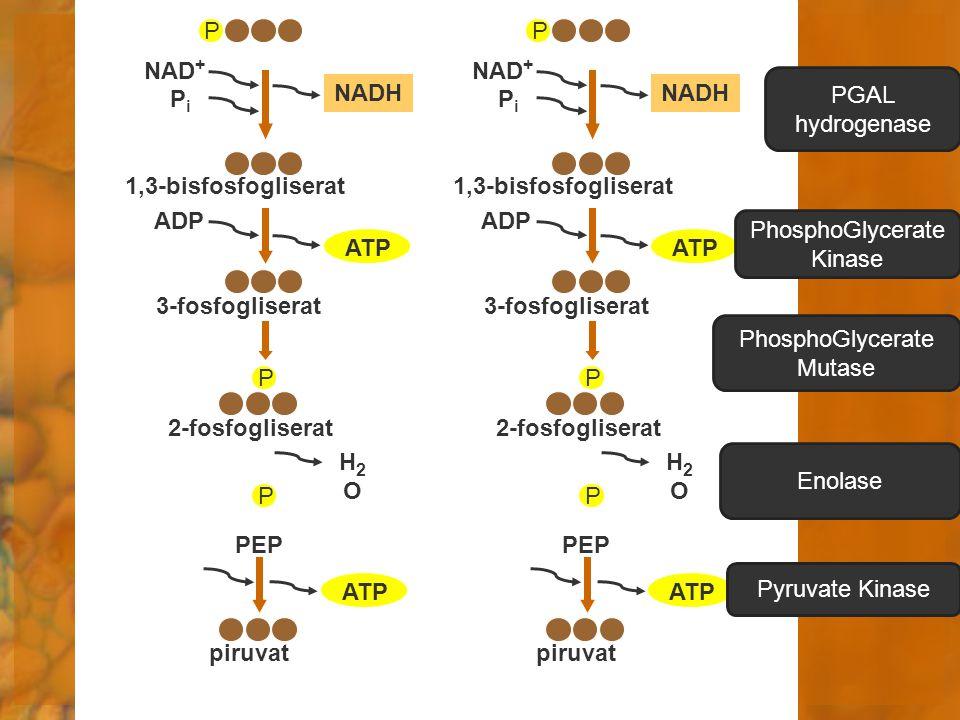 ATP piruvat H2OH2O P PEP P 2-fosfogliserat ADP ATP 3-fosfogliserat NAD + NADH PiPi 1,3-bisfosfogliserat P ATP piruvat H2OH2O P PEP P 2-fosfogliserat A