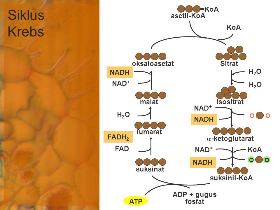 Siklus Krebs NAD + NADH =KoA asetil-KoA oksaloasetatSitrat KoA H2OH2O malatisositrat H2OH2O H2OH2O FAD FADH 2 fumarat suksinat ADP + gugus fosfat ATP