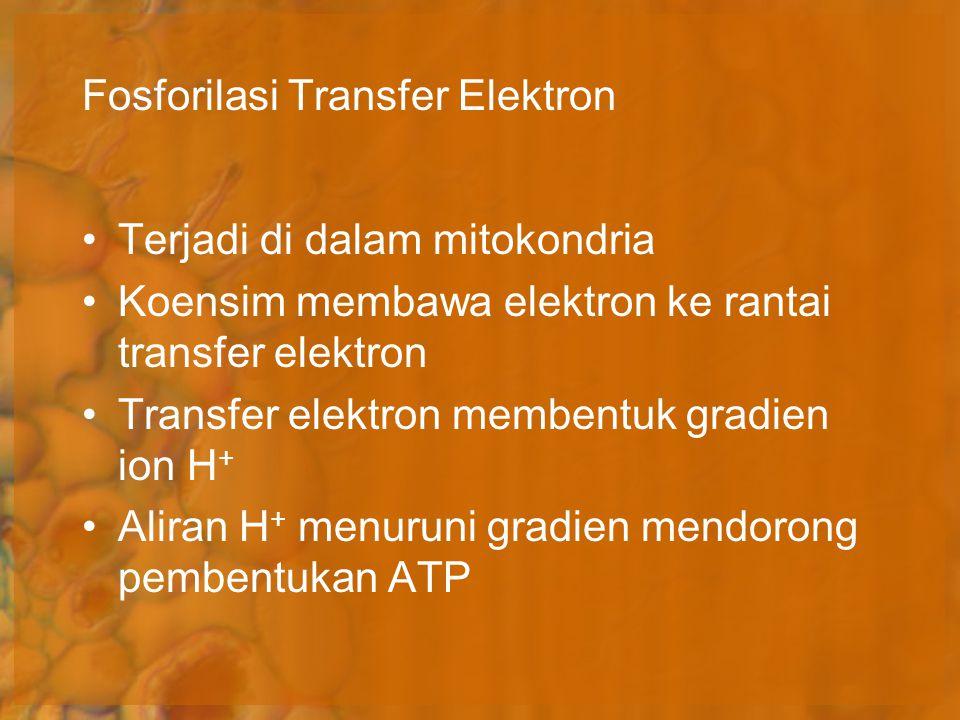 Terjadi di dalam mitokondria Koensim membawa elektron ke rantai transfer elektron Transfer elektron membentuk gradien ion H + Aliran H + menuruni grad