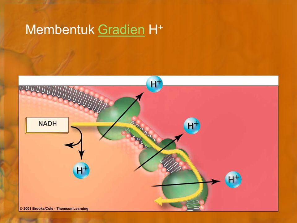 Membentuk Gradien H +Gradien NADH