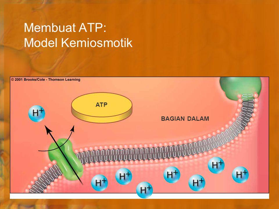 Membuat ATP: Model Kemiosmotik ATP BAGIAN DALAM