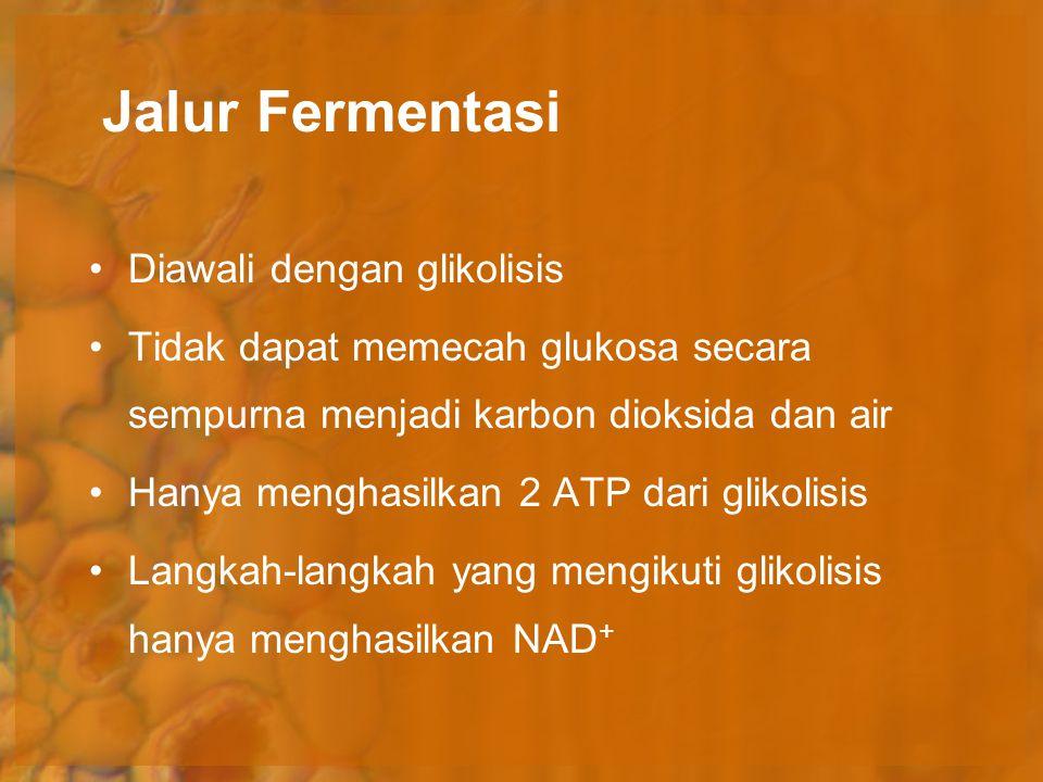 Jalur Fermentasi Diawali dengan glikolisis Tidak dapat memecah glukosa secara sempurna menjadi karbon dioksida dan air Hanya menghasilkan 2 ATP dari g