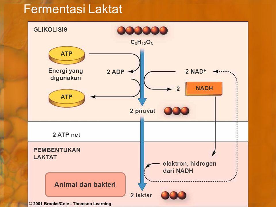 Fermentasi Laktat C 6 H 12 O 6 ATP NADH 2 laktat elektron, hidrogen dari NADH 2 NAD + 2 2 ADP 2 piruvat Energi yang digunakan GLIKOLISIS PEMBENTUKAN L
