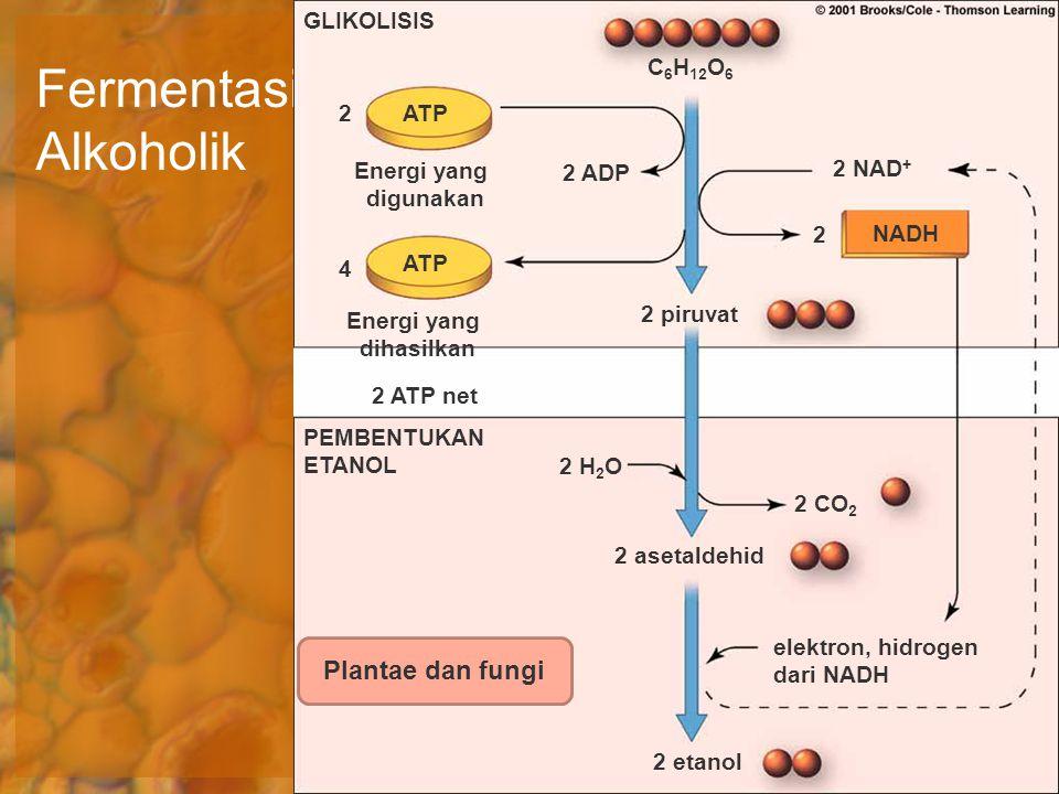 Fermentasi Alkoholik C 6 H 12 O 6 ATP NADH 2 asetaldehid elektron, hidrogen dari NADH 2 NAD + 2 2 ADP 2 piruvat 2 4 Energi yang dihasilkan Energi yang
