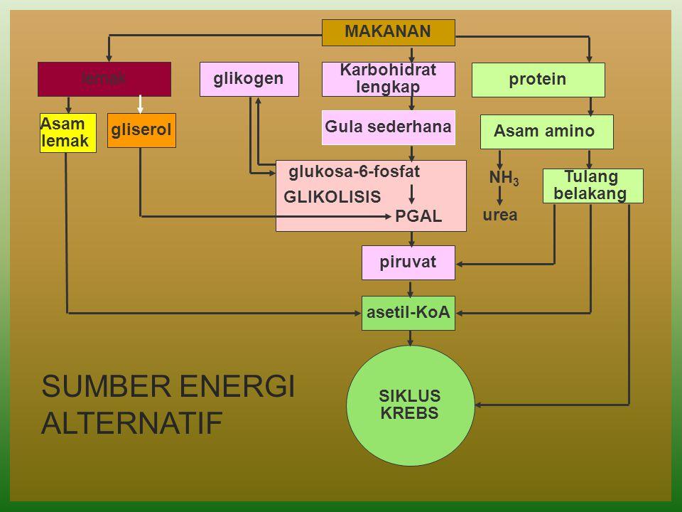 MAKANAN Karbohidrat lengkap piruvat asetil-KoA glikogenlemak protein Asam amino Asam lemak gliserol NH 3 urea SUMBER ENERGI ALTERNATIF SIKLUS KREBS PG